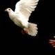 Picture of hand releasing dove in flight